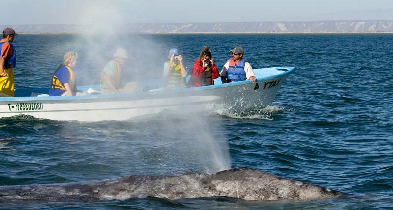 Bassa California Balene