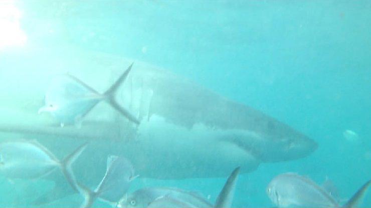 squalo bianco immersioni gabbia australia